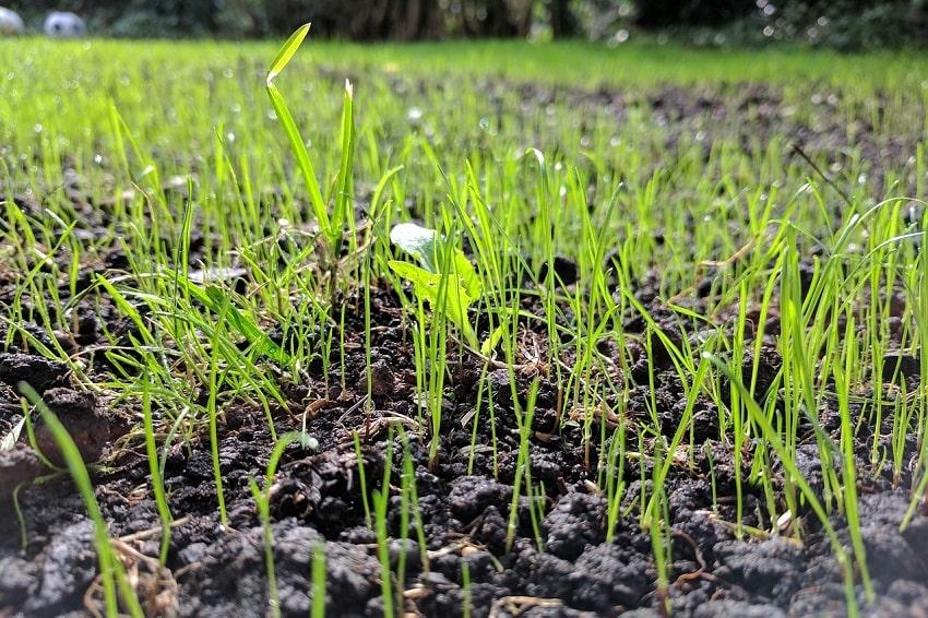Come si semina il tappeto erboso 2 - Pierucci Agricoltura
