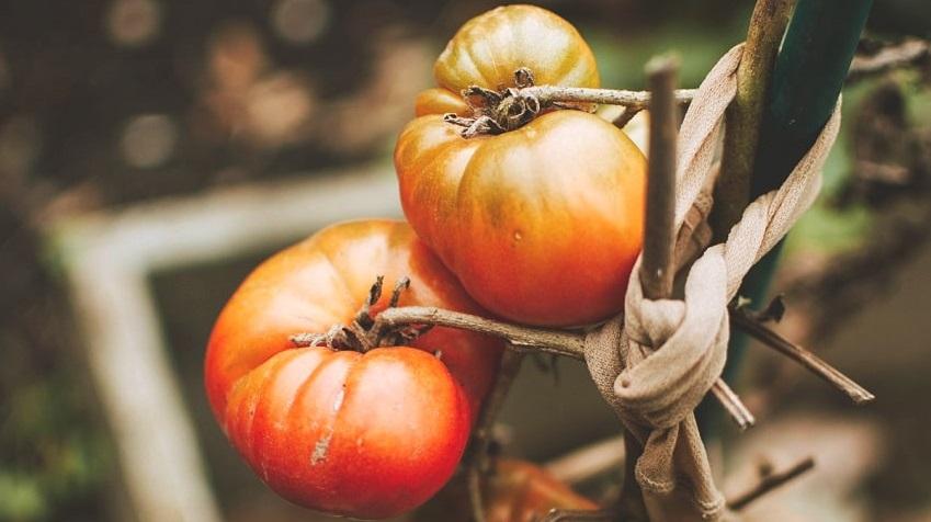 Come costruire un sostegno per pomodori - Pierucci Agricoltura (1)
