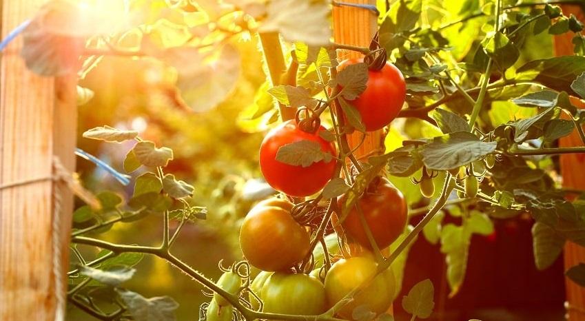 Come costruire un sostegno per pomodori - Pierucci Agricoltura