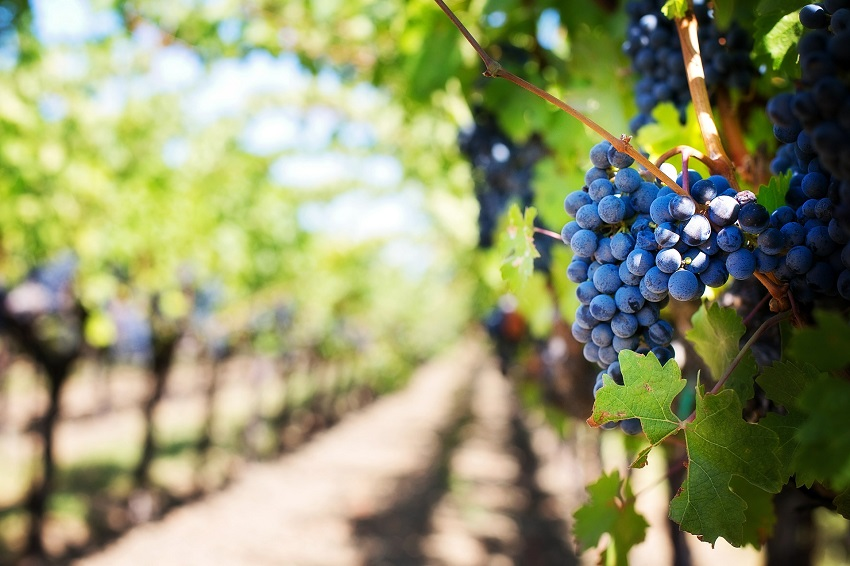 La peronospora: come riconoscerla e sconfiggerla - Pierucci Agricoltura (2)