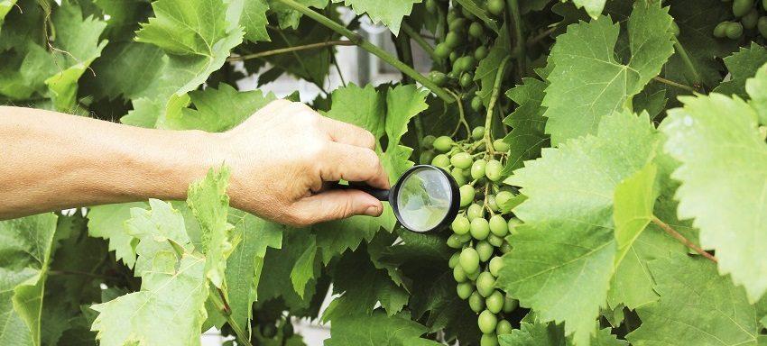 La peronospora: come riconoscerla e sconfiggerla - Pierucci Agricoltura