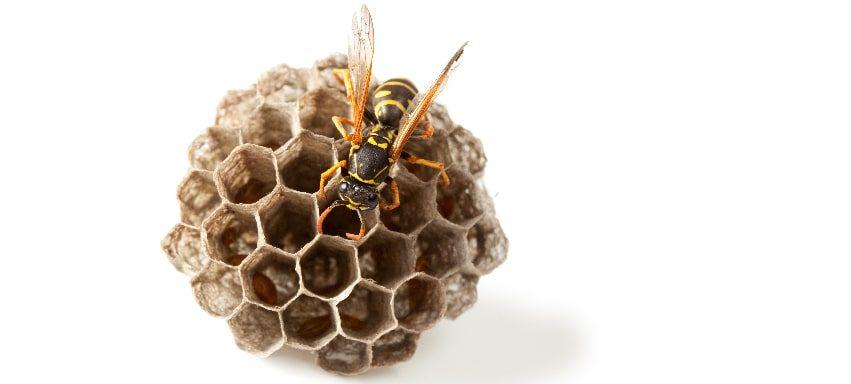 Come allontanare le vespe da casa tua