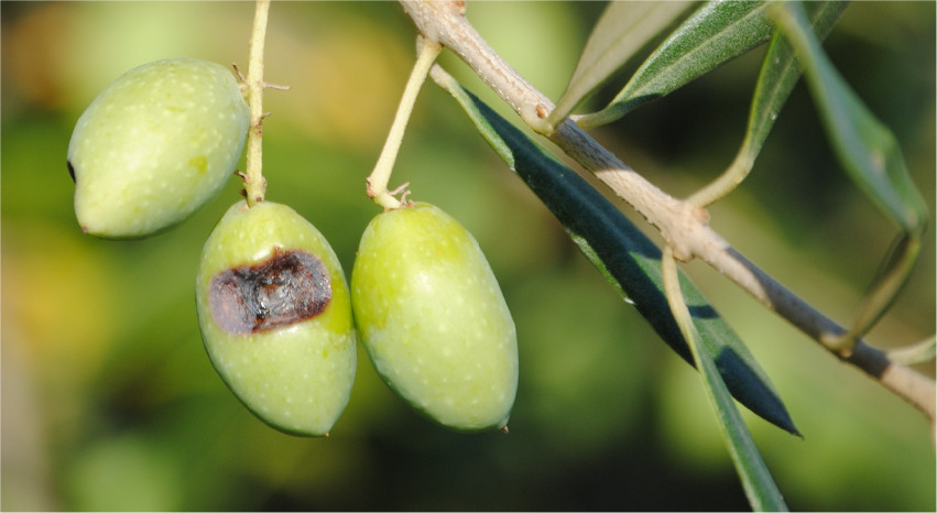 Mosca dell'olivo: un nemico da saper riconoscere - Pierucci Agricoltura