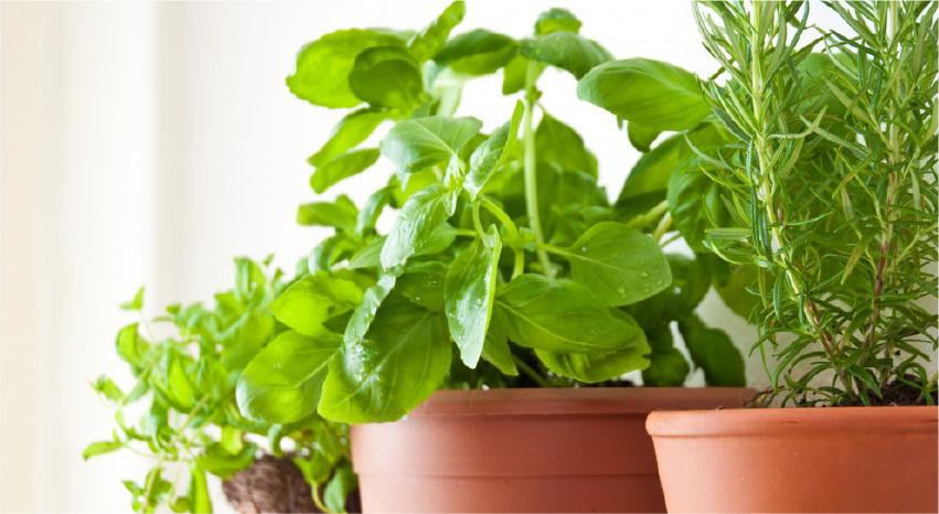 Piante antizanzare: un rimedio naturale ed efficace - Erbe aromatiche - Pierucci Agricoltura