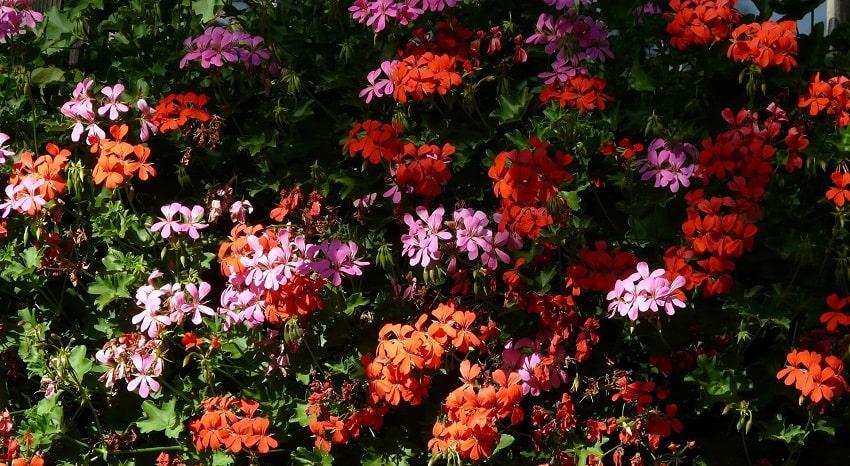 Piante antizanzare: un rimedio naturale ed efficacie - Geranio - Pierucci Agricoltura