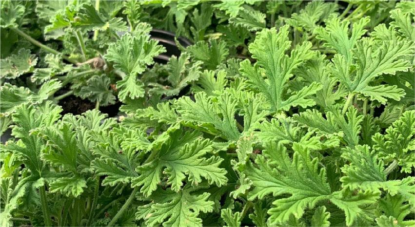 Piante antizanzare: un rimedio naturale ed efficace - Citronella - Pierucci Agricoltura