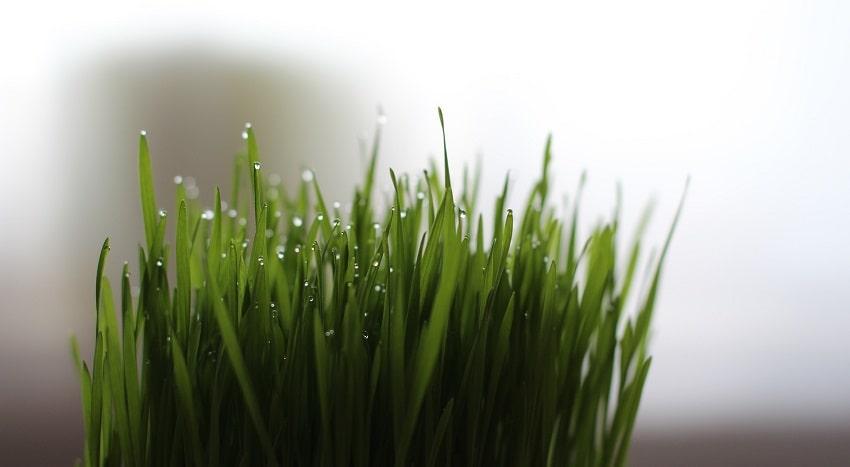 Piante antizanzare: un rimedio naturale ed efficace - Erba gatta - Pierucci Agricoltura