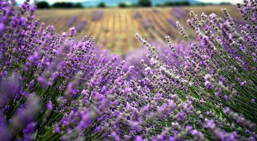 Piante antizanzare: un rimedio naturale ed efficace - Lavanda - Pierucci Agricoltura