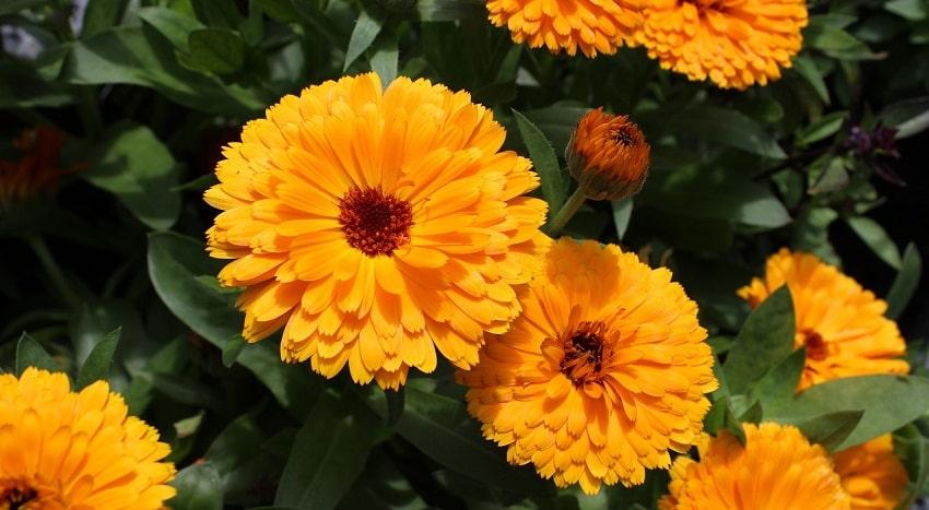 Piante antizanzare: un rimedio naturale ed efficace - Calendula - Pierucci Agricoltura