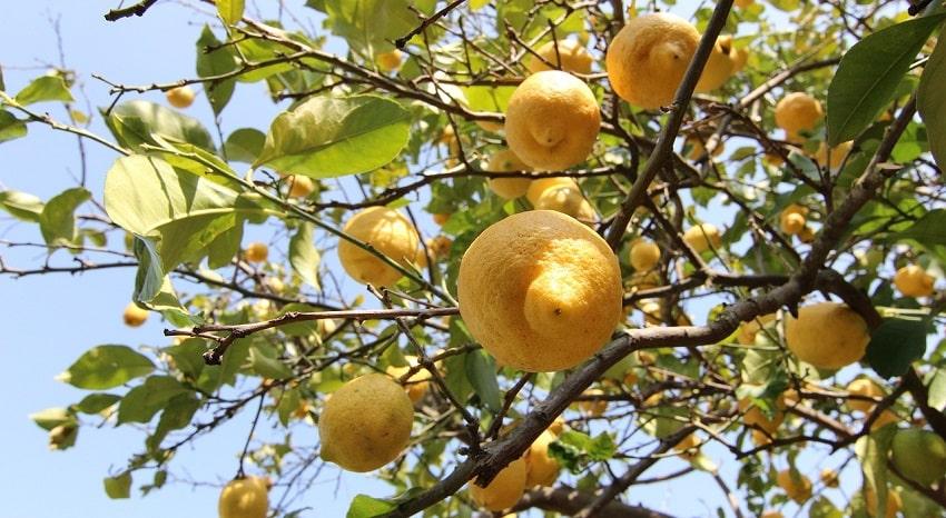 Pianta di limoni - Come potare i limoni: trucchi e consigli