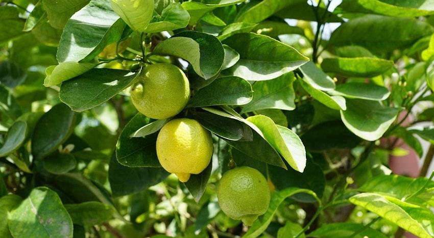 Una pianta di limoni