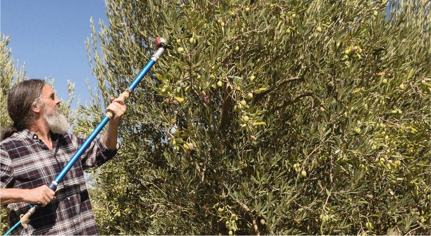 Uomo che utilizza un abbacchiatore su un ulivo