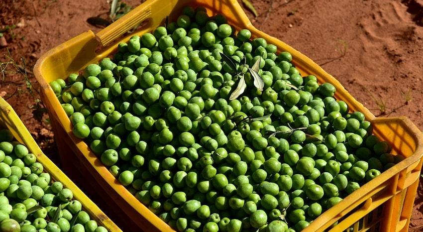 Cassetta agricola gialla contenente olive verdi