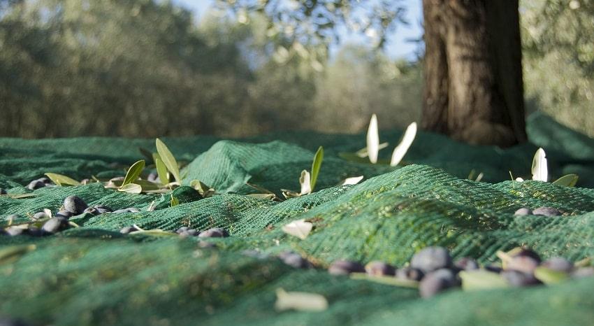 Rete per la raccolta delle olive ai piedi di un albero
